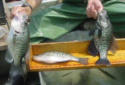 2006 biologist report blue marsh reservoir for Blue marsh lake fishing