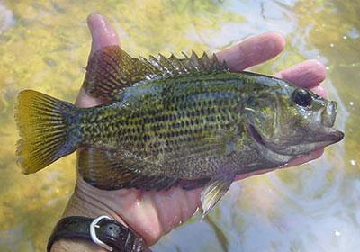 Pfbc 2008 biologist report se pa warmwater stream surveys for Rock bass fish