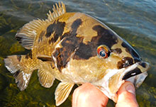 Smallmouth with black spots